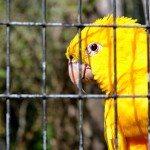 Pássaros autorizados para criar em casa (cativeiro)