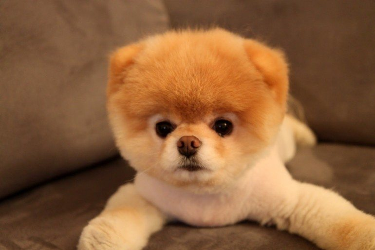 Boo-the-Dog-is-Definitely-the-Cutest-Dog-in-the-World-02