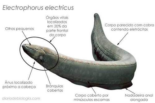 enguia-eletrica-5