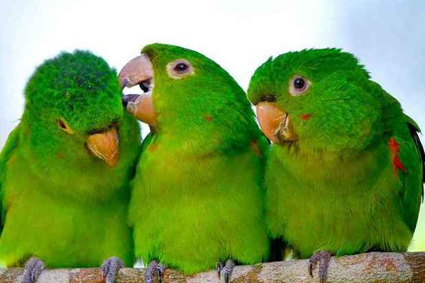Pássaro Maritaca