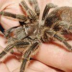 Aranhas Não Venenosas