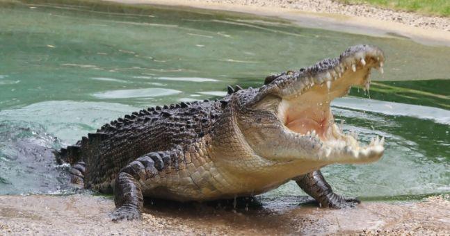 croc-1