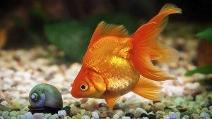 peixe_dourado