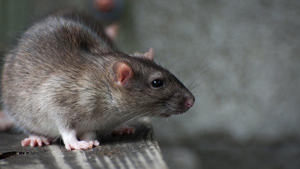 Como matar ratos