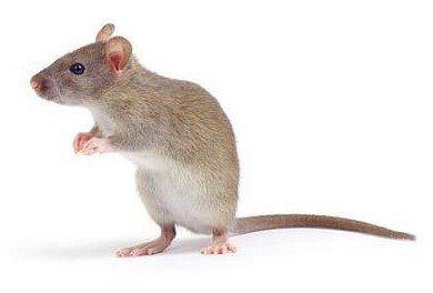 rato4
